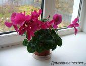 Комнатный цветок цикламен